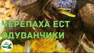 черепаха ест одуванчики
