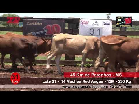 Lote 31   14 Machos Red Angus