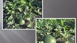 Выращивание арбузов и дынь(Видеолекция для садоводов в Новосибирске 28 февраля 2015 г., 2015-03-04T08:50:22.000Z)