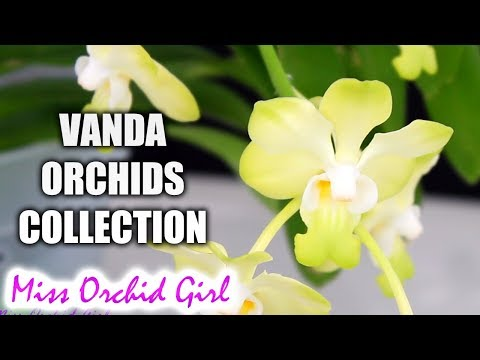 My Vanda Orchids Collection - Summer 2017
