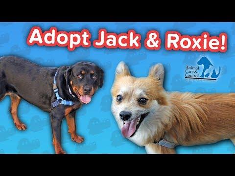 Adopt Jack & Roxie! // Pom-Chi & Rottweiler // Adoptable Featurette