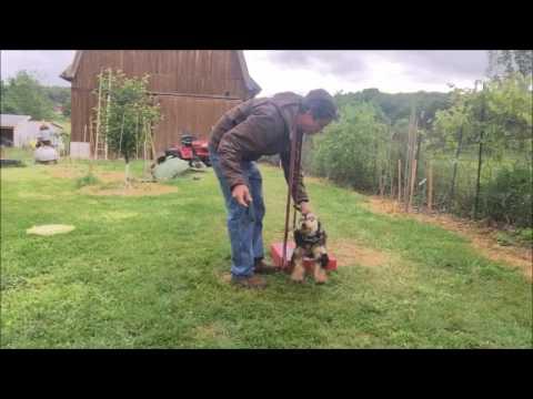 Charlie Goes Crazy attacks Dog Trainer