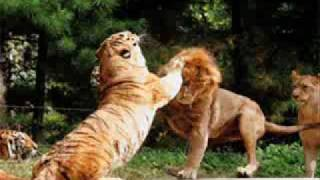 intelligent conclusion tiger wins tiger lion debate