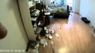 Самоед и две кошки - одни в квартире!