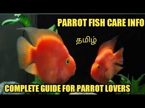 Blood Parrot Fish Care / Rare Albino Parrot Fish Breeding Clips / Complete Guide For Beginners/
