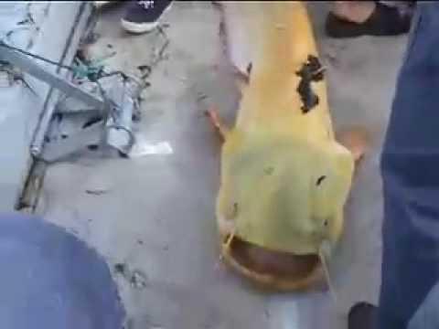 Video Albino wels catfish