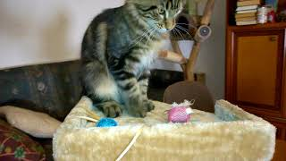 Котенок Мур-Мур Мейн Кун 4,5 месяца.