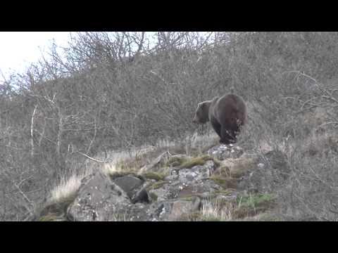 ОХОТА на МЕДВЕДЯ реальная охота Extreme Brown Bear Hunting in Alaska   Huge Grizzly kill Caccia all'