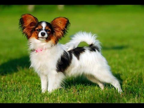 Хочу собаку. Папийон (папильон) | Телеканал