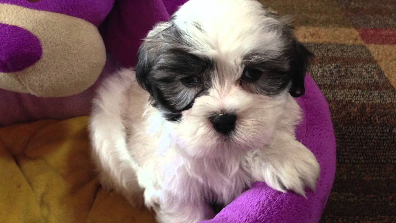 Mal Shi Malteseshih Tzu Puppies For Sale Ocala Florida Youtube