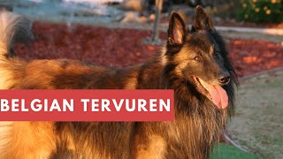 Dogs: Belgian Tervuren Breed Information And Personality
