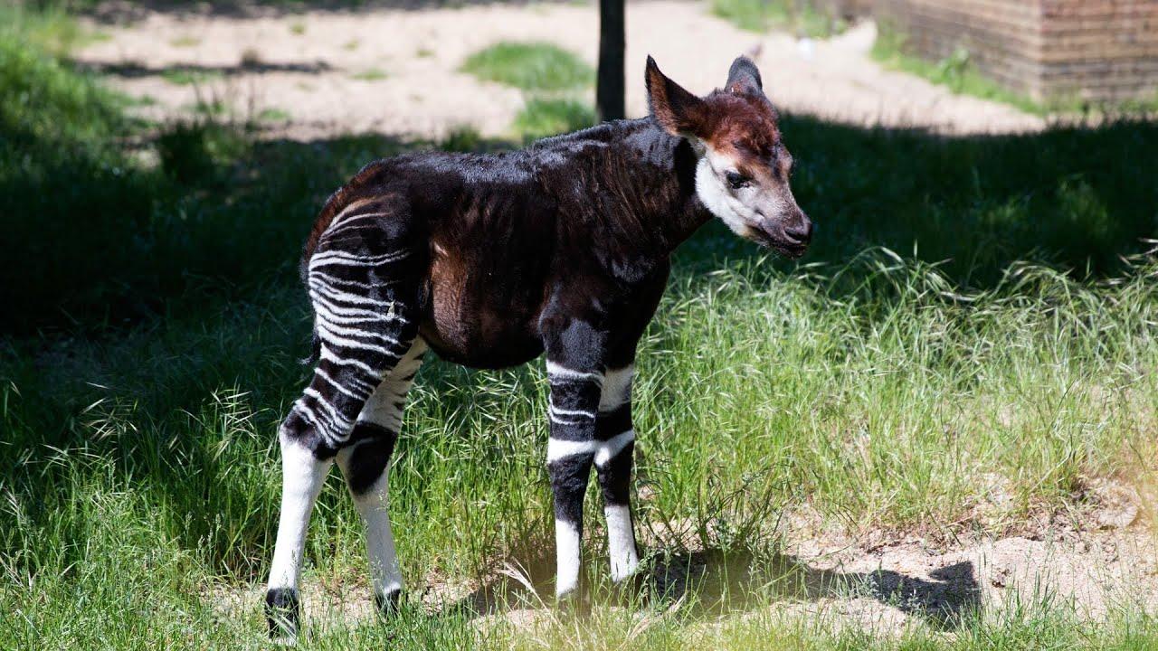 Baby Okapi starts to explore - YouTube
