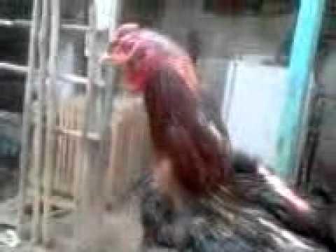 ayam aduan