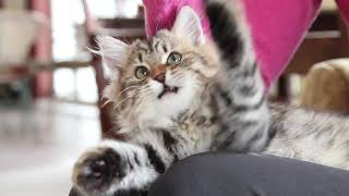 Siberian Kitten plays with mouse
