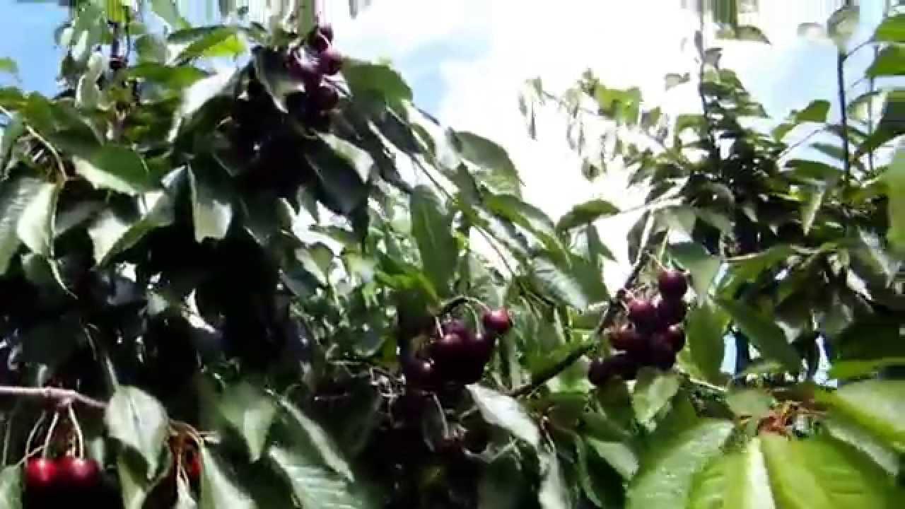 фото черешни дерево