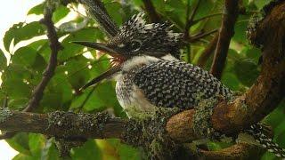 Большой пегий зимородок. Заповедник 'Курильский'. Crested Kingfisher.