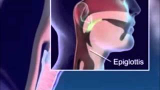 Дыхательная система человека. Анатомия