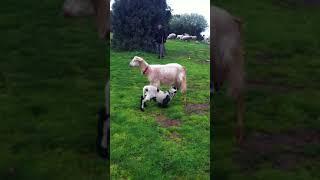 Annesiz kuzuyu,oğlağı ölen keçi emziriyor...