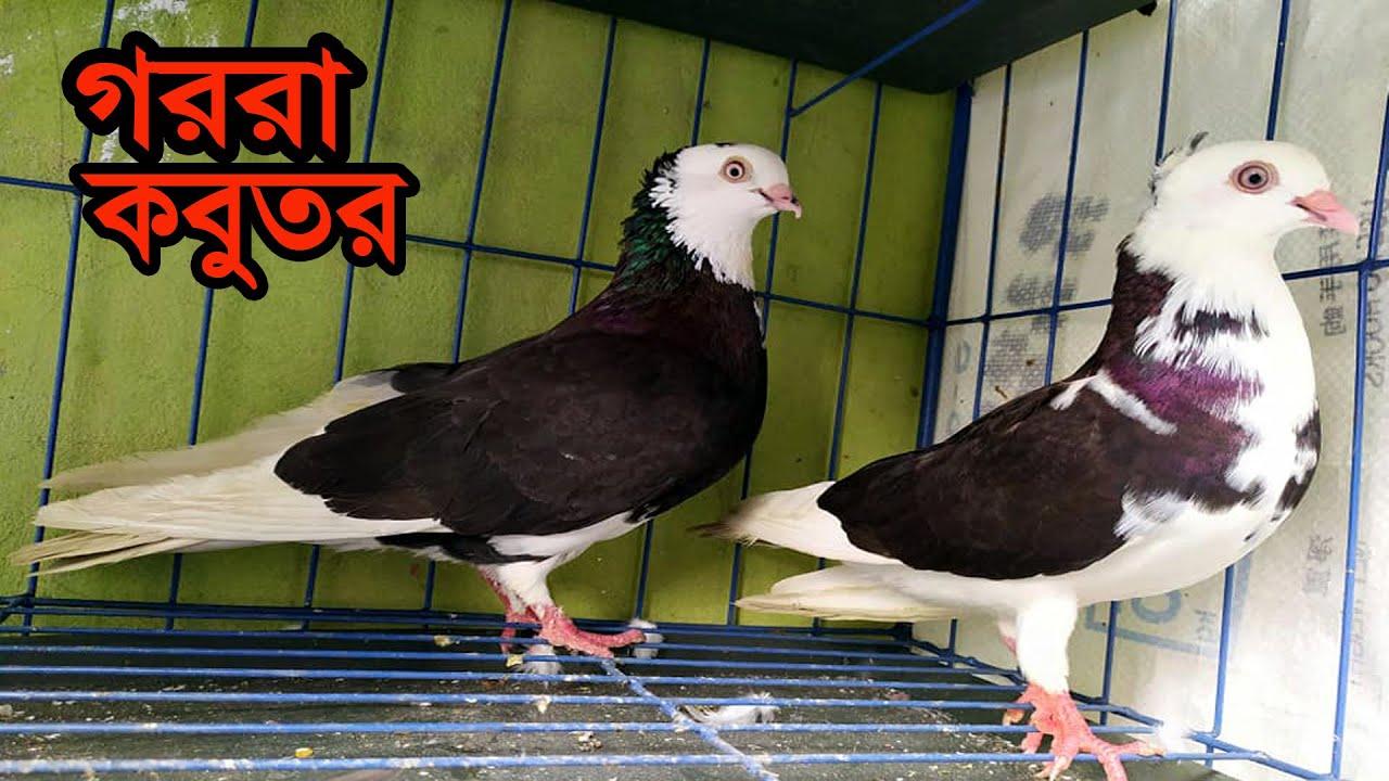 গররা কবুতর GORRA PIGEON | কবুতর হাত বদল হবে |  ডিম বাচ্চা রানিং ১০০%,খুব ভালো উড়ে |  Kobutor Palon