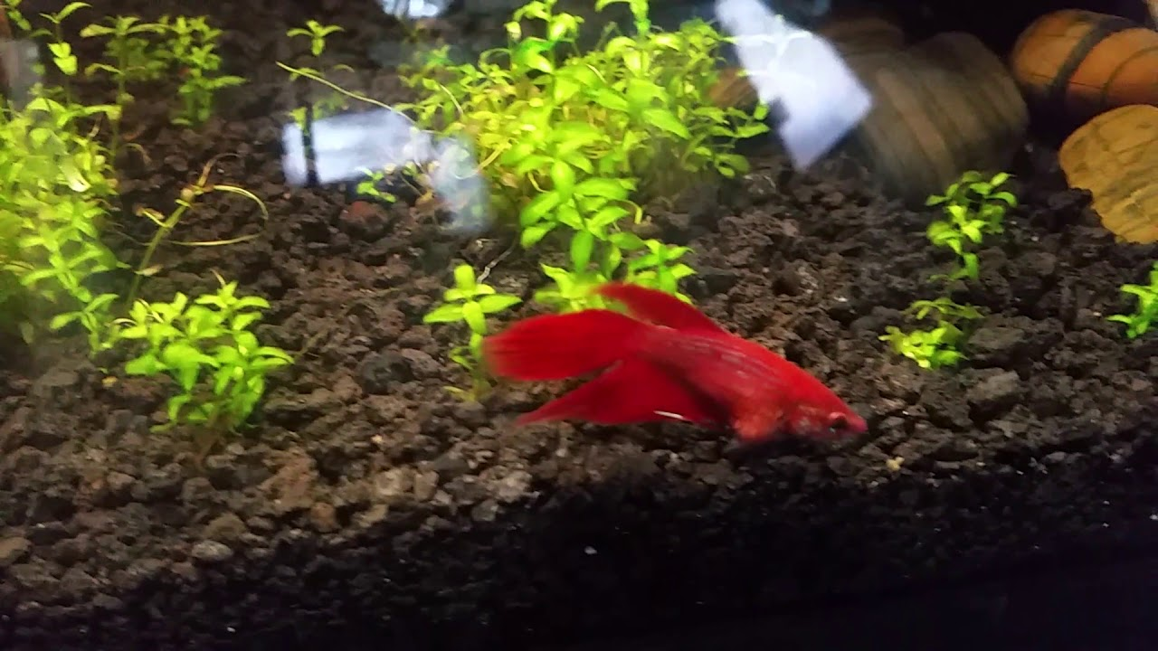Bloated Betta. Egg bound? Constipated? Dropsy? - YouTube
