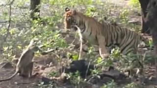 बंदर के शिकार के लिए बाघ चढ़ गया पेड़ पर, लेकिन आगे जो हुआ वो बेहद मजेदार है