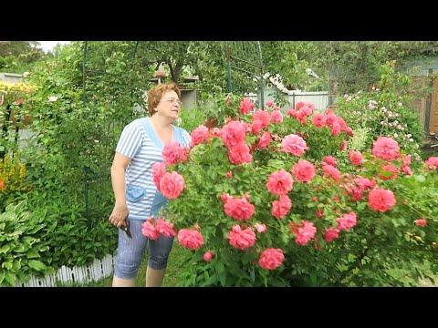 Черенкование кустовой розы и шаровидной туи 15 июня 2019 г.