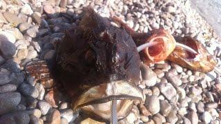 Подводная охота в Черном море летом 2016 года, Зубарь, Скорпена !(Подводная охота в Черном море летом 2016 года, на горбыля, зубаря, скорпену и просто подводный мир! ♔ Подпиши..., 2016-09-29T14:42:50.000Z)
