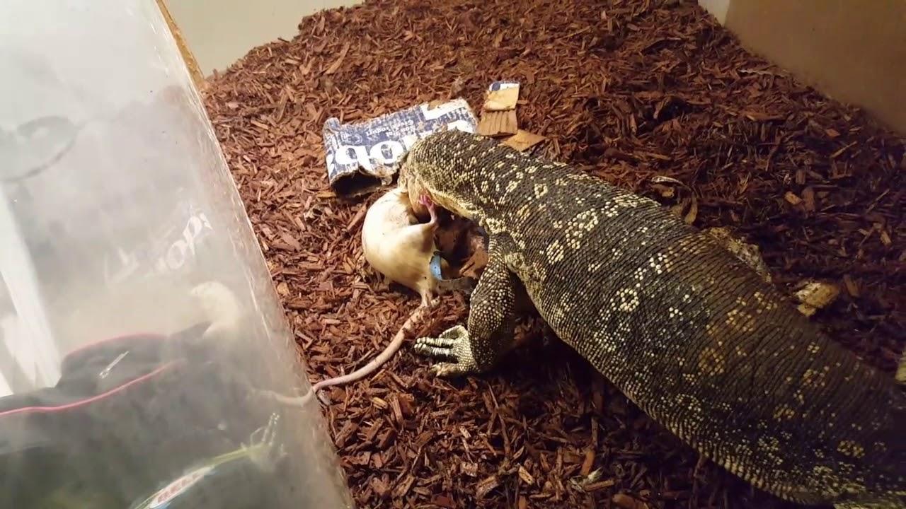 Download Massive Rat puts up a good fight (live feeding)