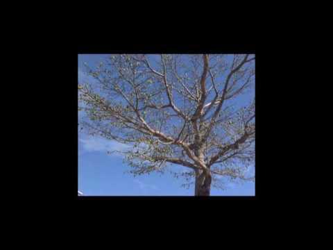 hqdefault - Les autres fibres naturelles végétales : Le Kapok