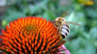 Backyard Beekeeping Part 12(S1:E12): Honeybee Drinking Nectar From Purple Coneflower