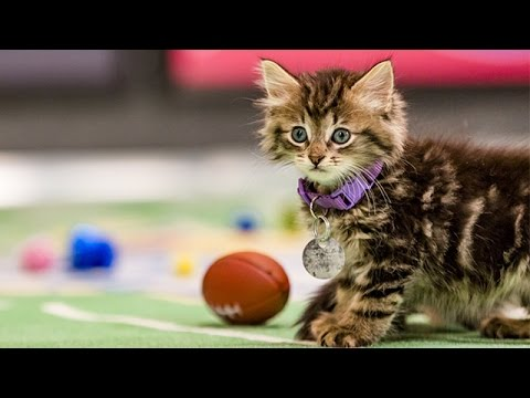 The Felines for the Championship _ Kitten Bowl III