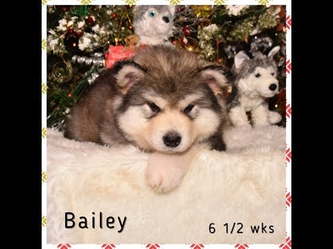 Alaskan Malamute - Videos Of Giant Alaskan Malamute Puppies Playing with the Big Dogs