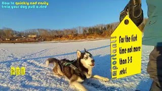 HOW TO TRAIN HUSKY to pull sleds. Education Husky run in harness (FIRST SLED PULL)!