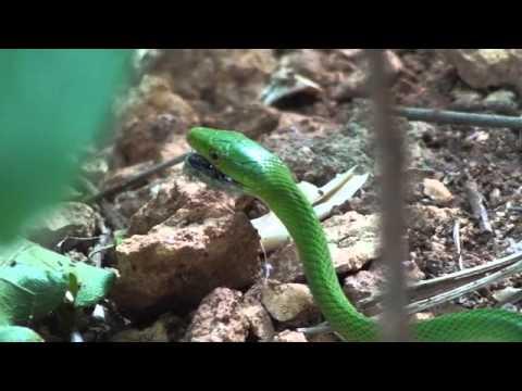 Zanzibar Life: Juvenile Green Mamba, Matemwe