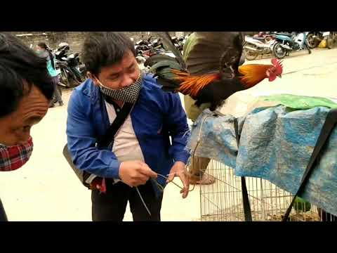 Chợ Bắc Hà bán gà rừng lai. Giống đẹp chuẩn.   Foci