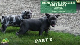 Mini Olde English Bulldog Puppies Playing - Mack and Morris -  Part 2