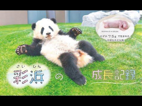 ジャイアントパンダ「彩浜」の成長記録