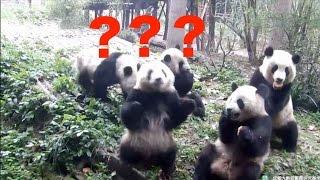「ボクのオヤツどこ?」目の前から消えたオヤツを探し回るパンダ