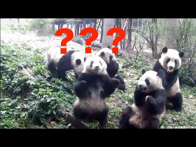 Footage: Confused panda battles to find hidden snack!