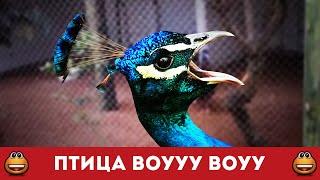 Вооууу вооууу. Птица обкурилась (Смотреть видео онлайн HD)(Животные наши друзья. И мы любим с ними взаимодействовать. Но говорящая птица в зоопарке - что-то здесь не..., 2015-12-02T18:15:48.000Z)