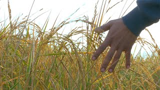 Indian farmer gently touching fully grown rice crops in an organic paddy field - farming concept