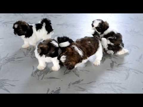 Ervin Raber's Shih Tzu Puppies