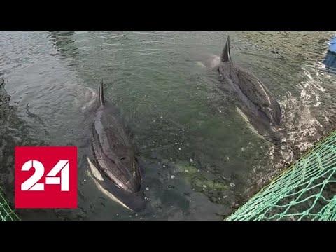 Морские пленники: как выпущенные косатки осваиваются на свободе - Россия 24