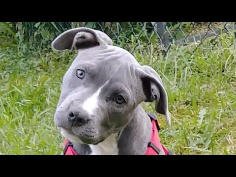 CRAZY ENERGY  Blue Nose Pitbull Puppy