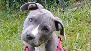 #puppy #bluenose #pitbull Puppy pitbull training and food