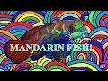 MERMAID MINUTE #20: MANDARINFISH with Mermaid Linden - a Real life Mermaid!