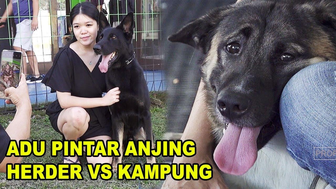 Anjing Kampung Vs Anjing Herder Mana Yang Lebih Pintar Youtube
