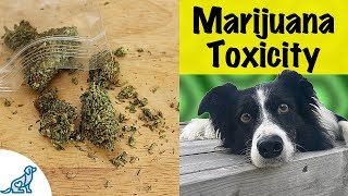 Marijuana Poisoning In Dogs - Dangerous Signs And Treatment