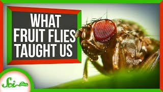What Fruit Flies Taught Us About Human Biology
