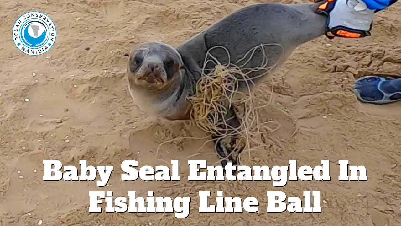 Baby Seal Entangled In Big Ball Of Fishing Line